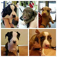 Boston Terrier/Bulldog Mix Puppy for adoption in HAGGERSTOWN, Maryland - THE C LITTER