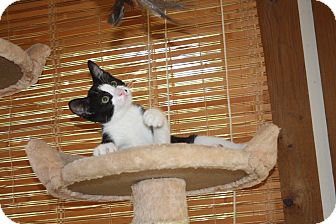 Domestic Shorthair Kitten for adoption in St. Louis, Missouri - Nash