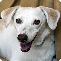 Adopt A Pet :: Venus - North Las Vegas, NV