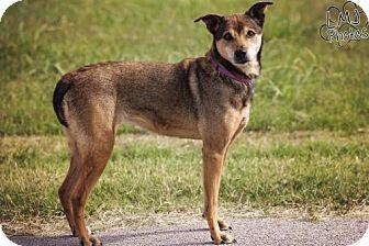 Australian Shepherd/Belgian Malinois Mix Dog for adoption in Pryor, Oklahoma - Susie