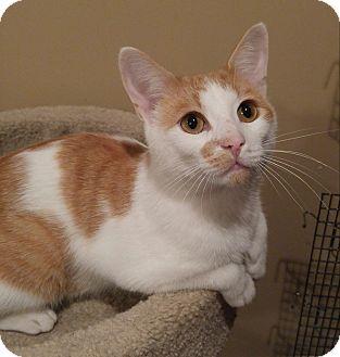Domestic Shorthair Cat for adoption in Lenhartsville, Pennsylvania - Jasper