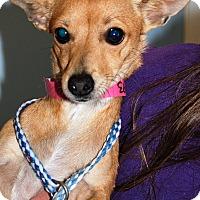 Adopt A Pet :: Foxy - Hayden, ID
