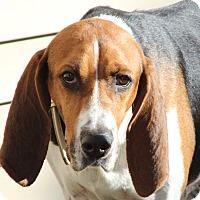 Hound (Unknown Type) Mix Dog for adoption in Aurora, Illinois - Kaylee