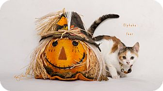 Domestic Shorthair Kitten for adoption in Riverside, California - Elphaba