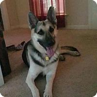 Adopt A Pet :: Storm - Greeneville, TN