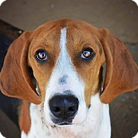 Treeing Walker Coonhound Dog for adoption in Wood Dale, Illinois - Demelza- ADOPTION PENDING!