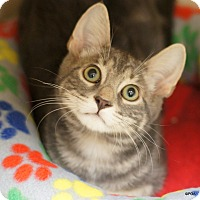 Domestic Shorthair Cat for adoption in East Hartford, Connecticut - Slater