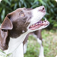 Springer Spaniel Mix Dog for adoption in Houston, Texas - Olivia