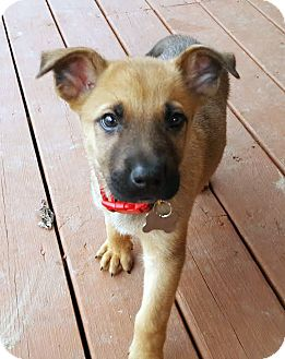 German Shepherd Dog/Retriever (Unknown Type) Mix Puppy for adoption in Detroit, Michigan - Jolly-Adopted!