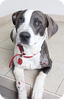 Pointer Mix Dog for adoption in Edina, Minnesota - Diesel D162092: NO LONGER ACCEPTING APPLICATIONS
