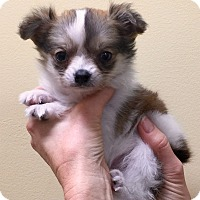 Adopt A Pet :: I'M ADPTD Bby Nw Yr Tradition - Oswego, IL