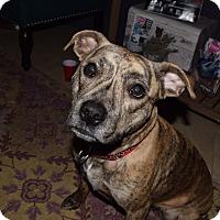Adopt A Pet :: Bella - Pottstown, PA