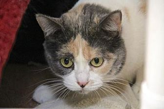 Domestic Shorthair Cat for adoption in Palm Springs, California - Erica