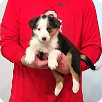 Adopt A Pet :: Sabastian - Gahanna, OH