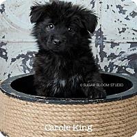 Adopt A Pet :: Carole King - Denver, CO
