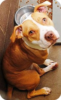 American Pit Bull Terrier Mix Dog for adoption in Gilbert, Arizona - Rosey