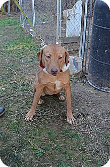 Boxer/Pit Bull Terrier Mix Dog for adoption in Albemarle, North Carolina - Sleepy