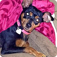 Miniature Pinscher Dog for adoption in Tustin, California - Dutchess