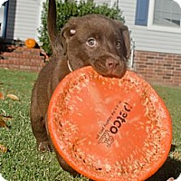 Adopt A Pet :: *Brady - PENDING - Westport, CT