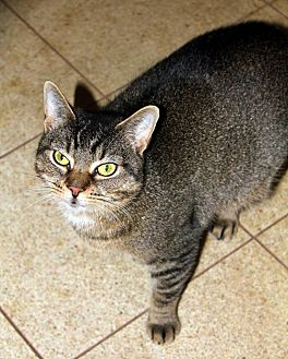 Domestic Shorthair Cat for adoption in New York, New York - Patty
