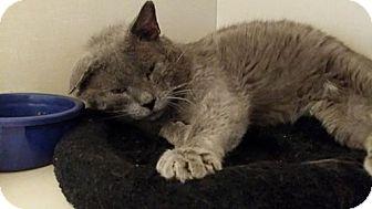 American Shorthair Cat for adoption in Pueblo, Colorado - Dorian