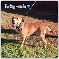 Adopt A Pet :: Turkey - Harmony, Glocester, RI