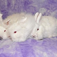 Adopt A Pet :: Dixie, Dahlia and Darlin - Chesterfield, MO