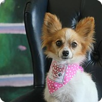 Adopt A Pet :: Goldie Papillon - Dallas, TX