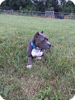 American Staffordshire Terrier Mix Dog for adoption in Newfield, New Jersey - Sydnie
