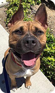 Presa Canario Mix Dog for adoption in San Diego, California - Blake