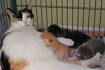 Calico Cat for adoption in Palm Springs, California - Claire