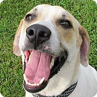 Australian Cattle Dog/Labrador Retriever Mix Dog for adoption in Centerton, Arkansas - 16-181-D15