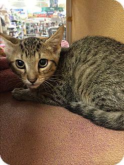 Domestic Shorthair Kitten for adoption in Rochester, Minnesota - Janet