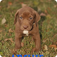 Labrador Retriever Mix Puppy for adoption in Colmar, Pennsylvania - Archie