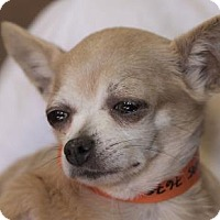 Chihuahua Dog for adoption in Colorado Springs, Colorado - Olive