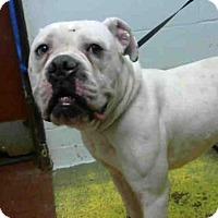 Adopt A Pet :: ROCKO - Atlanta, GA