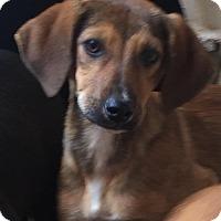 Adopt A Pet :: Sabra - Charlotte, NC