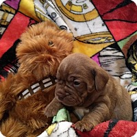 Adopt A Pet :: Chewbacca (The Star Wars Clan) - Hanover, PA