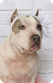 American Pit Bull Terrier Mix Dog for adoption in Titusville, Florida - Dixie