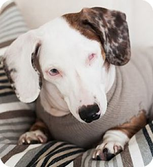 Dachshund Dog for adoption in Bloomington, Illinois - Joey