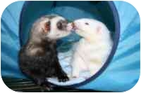 Ferret for adoption in Columbia, Maryland - Napster