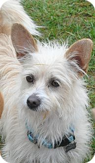 Terrier (Unknown Type, Small) Mix Dog for adoption in Tumwater, Washington - Cindy Lue
