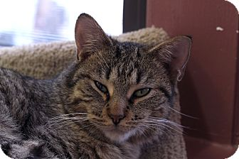 Domestic Shorthair Cat for adoption in Chicago, Illinois - Studly