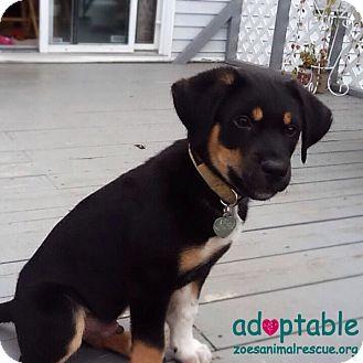 Hershey Adopted Puppy Edmonton Ab Rottweiler Blue