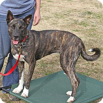 Shelby! | Adopted Dog | Sacramento, CA | Belgian Malinois ...