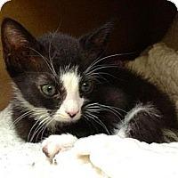 Adopt A Pet :: Whisper - Island Park, NY