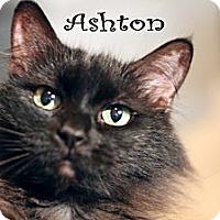 Domestic Longhair Cat for adoption in Wichita Falls, Texas - Ashton