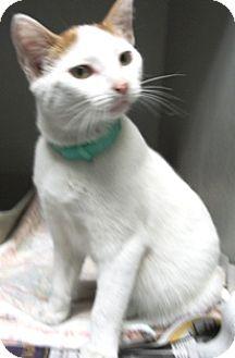Domestic Shorthair Cat for adoption in Keokuk, Iowa - Rocky