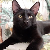 Domestic Shorthair Cat for adoption in Ventura, California - Perry