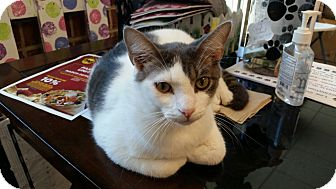 Domestic Shorthair Cat for adoption in Maryville, Tennessee - Travis